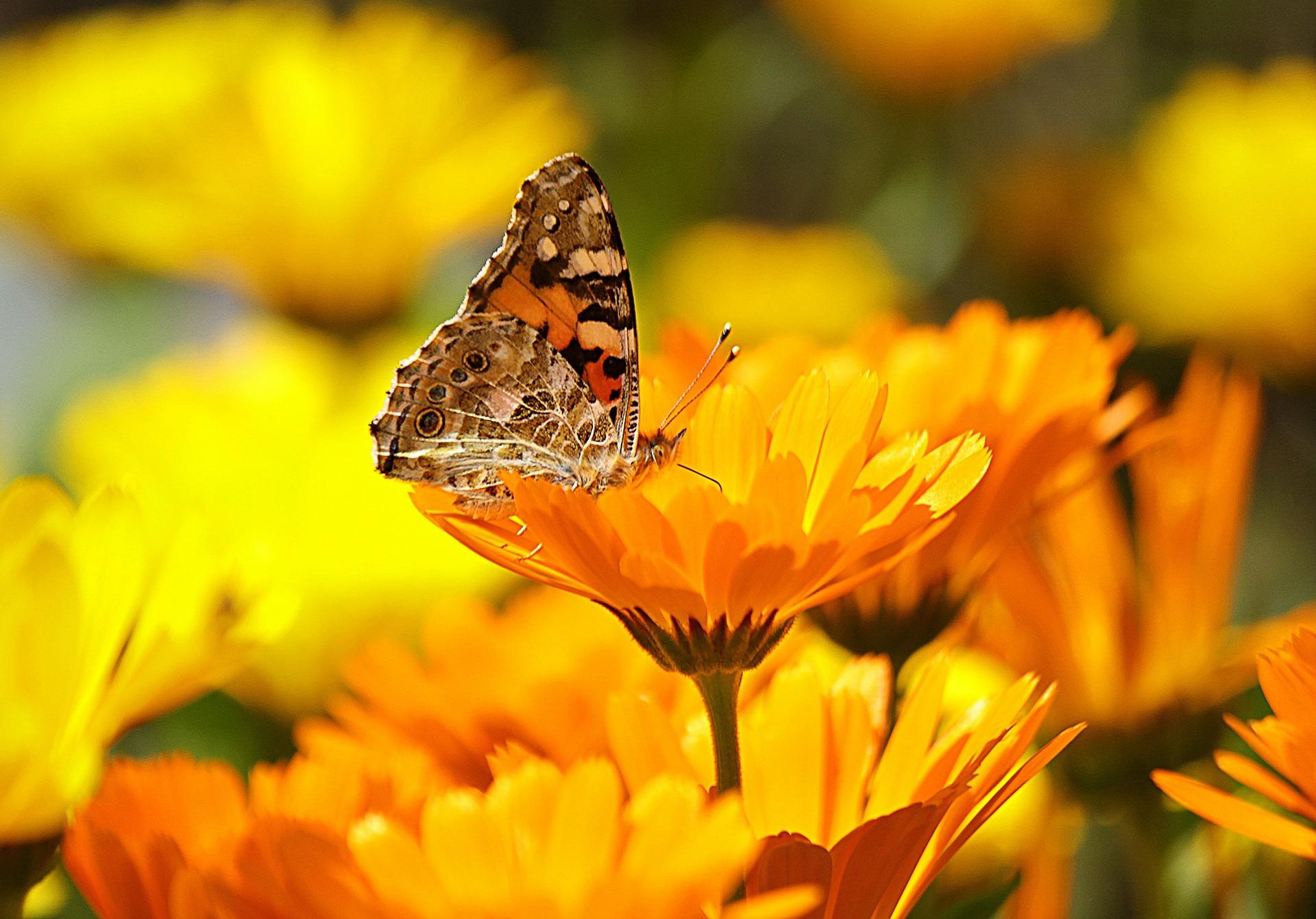 Ringelblume mit Schmetterling